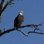 birdbaldeagle225
