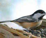 birdblackcappedchickadee175