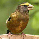 birdeveninggrosbeak175