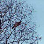 birdgrouseintree225