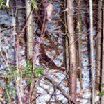 birdgrouseinwoods225