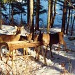 deerfeeding225